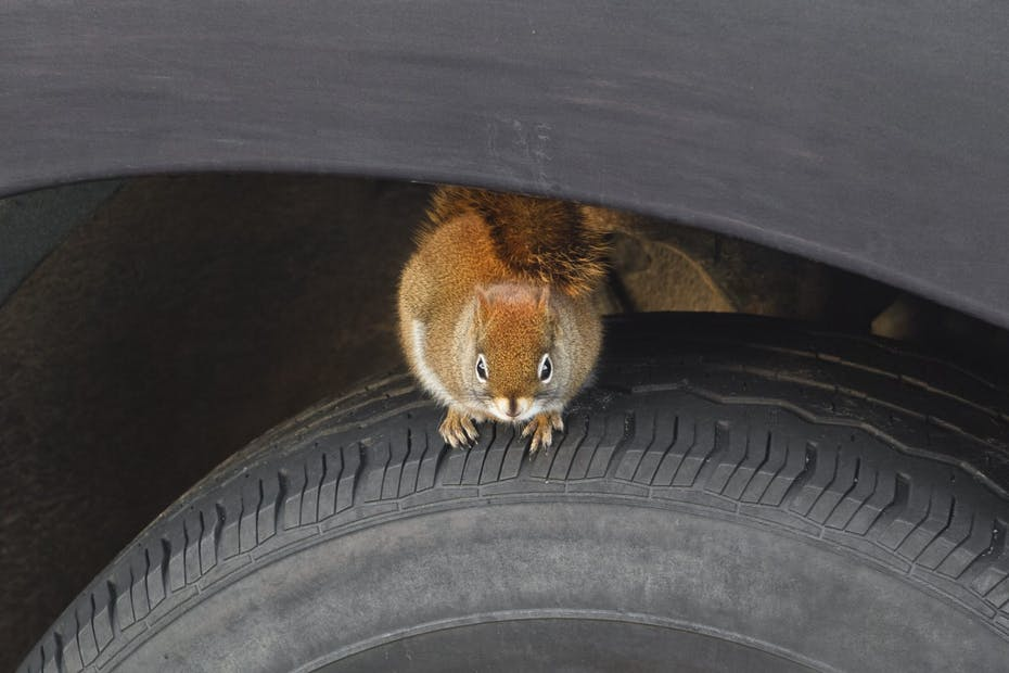 Squirrel On Vehicle Tire